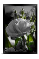 Monochrome black and white rose with green stems, Framed Print