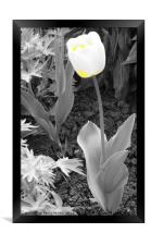 Yellow and White Tulip, Framed Print