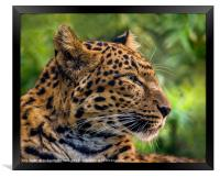 North Chinese Leopard profile, Framed Print