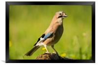 Jay perched in the afternoon sun, Framed Print