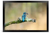 Kingfisher with fish, Framed Print