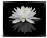 White Water Lily, Framed Print