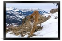 Cougar high up in the mountains North America, Framed Print