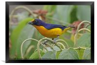 Violaceous Ephonia - Euphonia violacea, Framed Print