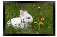 cute white dwarf bunny, Framed Print