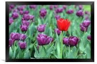 purple and one red tulip flower, Framed Print