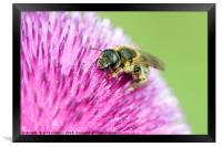 bee on flower close up, Framed Print