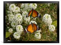 Two butterflies on a white flower... , Framed Print