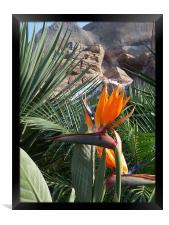 Bird of Paradise , Framed Print