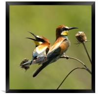 bee-eaters, Framed Print