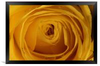 Yellow Rose with water droplets, Framed Print