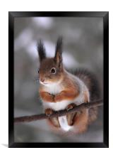 Red squirrel on a tree branch, Framed Print