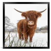 HIghland Cow, Framed Print
