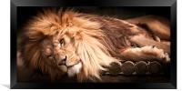 Cant be bothered - lion, Framed Print