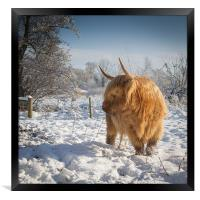 Hairy Cow in snow, Framed Print