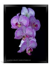 Purple Veined Orchid, Framed Print