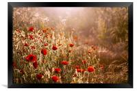 Morning light on Poppies, Framed Print