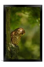 Tawny owl in the woods, Framed Print