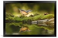 Nuthatch reflecting, Framed Print