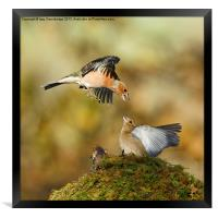 Bickering chaffinches, Framed Print