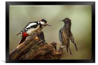 Stand off between woodpecker and starling, Framed Print