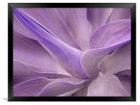 Agave Attenuata Abstract 2, Framed Print