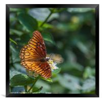 colourful orange butterfly, Framed Print