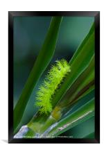 IO moth caterpillar, Framed Print