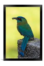 Blue crowned Motmot with a caterpillar, Framed Print