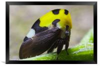 yellow and black treehopper, Framed Print