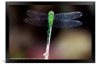pretty green dragonfly at rest, Framed Print