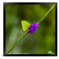 tropical green butterfly, Framed Print