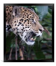 Jaguar snarling, Framed Print