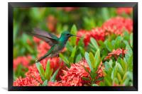 Hummingbird Flying, Framed Print