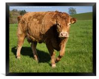 Limousin Cow, Framed Print