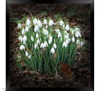 First Snowdrops (Galanthus), Framed Print