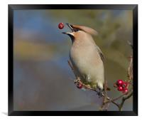 Waxwing, Framed Print