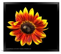 Sunflower with bee, Framed Print