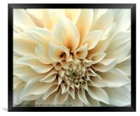 Beautiful Cream Dahlia Flower, Framed Print