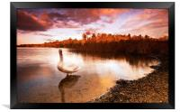 Swan On The Lake, Framed Print
