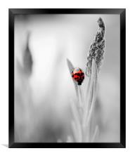 Harlequin Ladybird on B&W, Framed Print