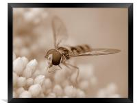 Hoverfly In Sepia, Framed Print