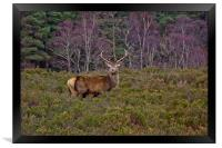 Stag at Signal Rock, Framed Print