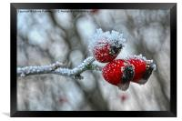 Snow Capped Rose Hip, Framed Print