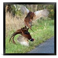 Cock pheasants fighting, Framed Print