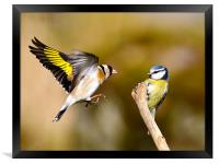 Goldfinch and Bluetit, Framed Print