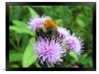 Bumble Bee, Framed Print