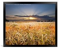 barley at sunset, Framed Print