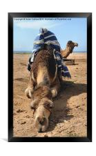 A CAMEL CHILLS OUT, Framed Print