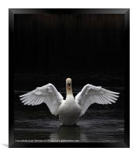 Mute Swan stretching it's wings, Framed Print